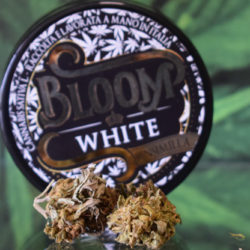 Bloom White